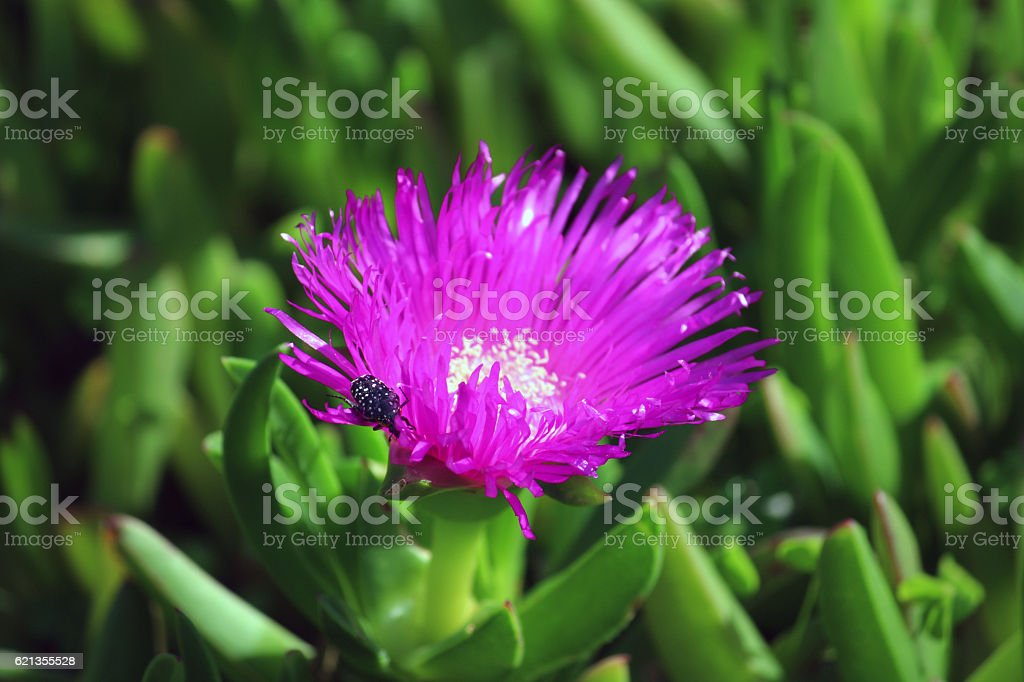 Carpobrotus edulis (Ice plant) flower head with resident beetle stock photo