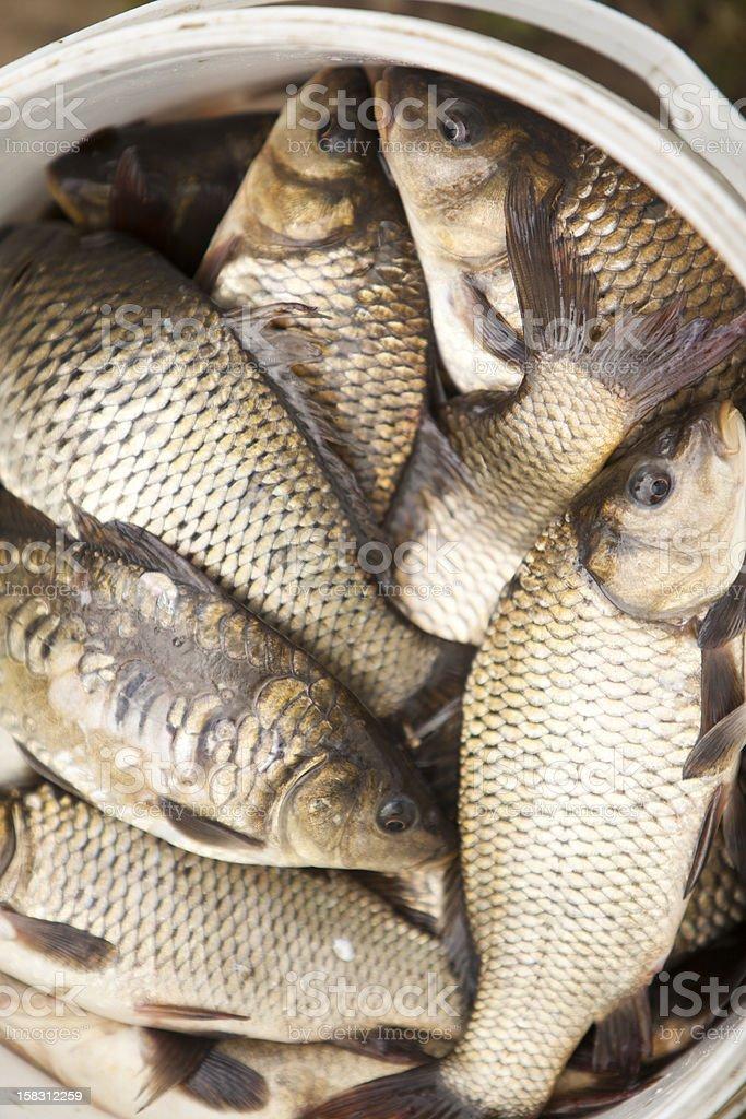 Carps in the landing net: fishing farm royalty-free stock photo