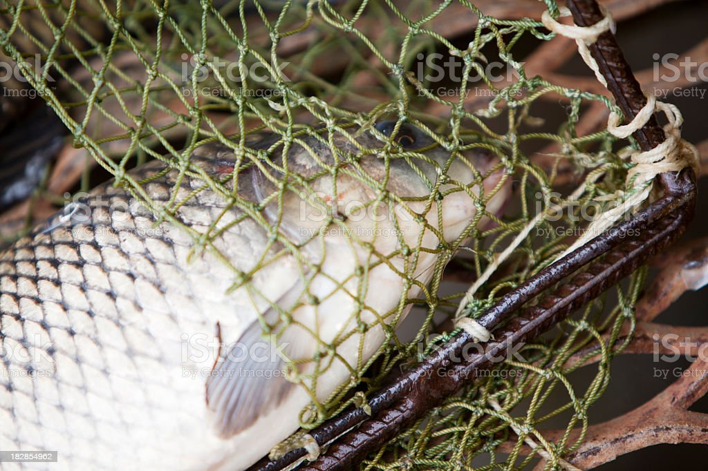 Carps in the landing net: fishing farm stock photo