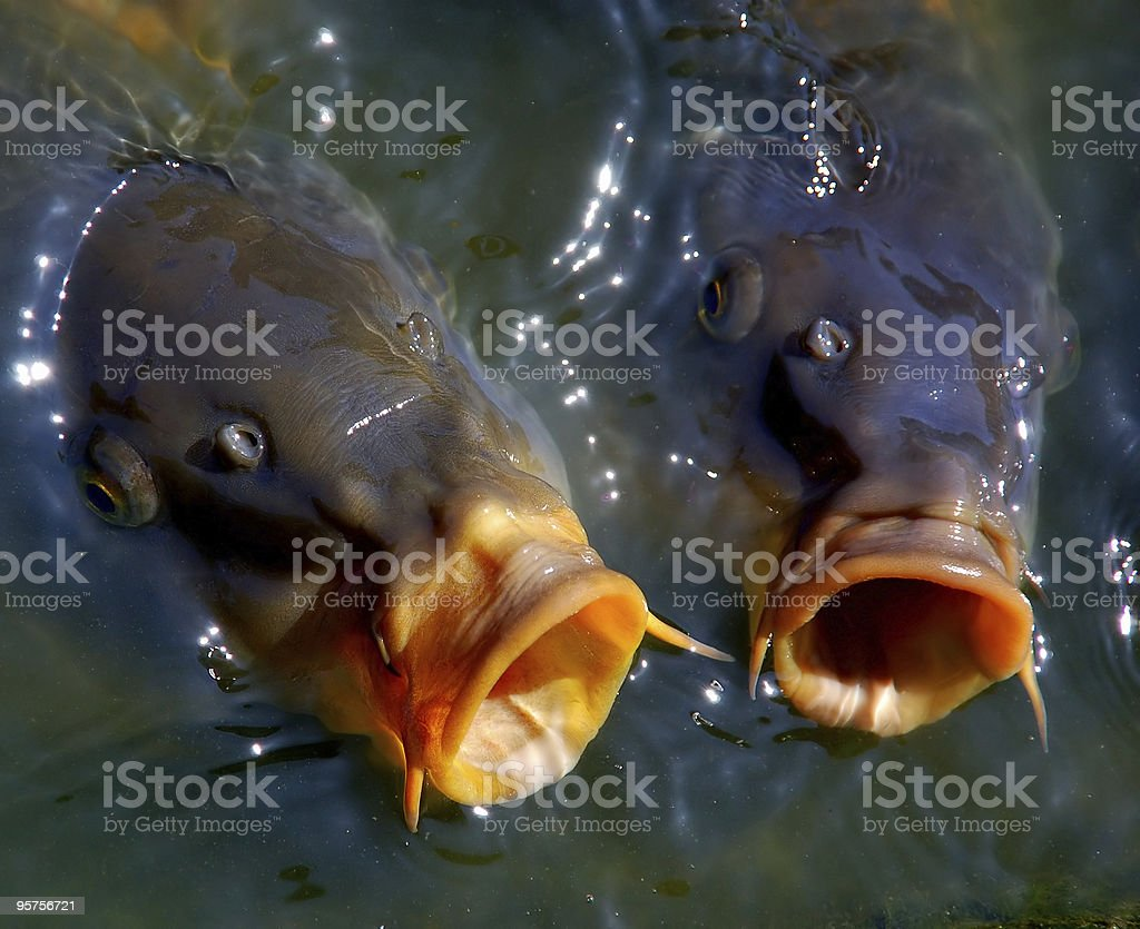 Carps in water royalty-free stock photo