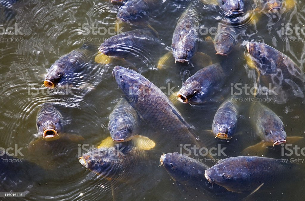 Carps royalty-free stock photo