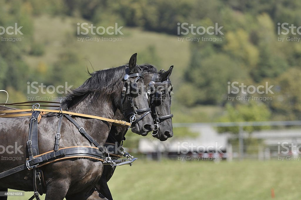 Carriage horses royalty-free stock photo