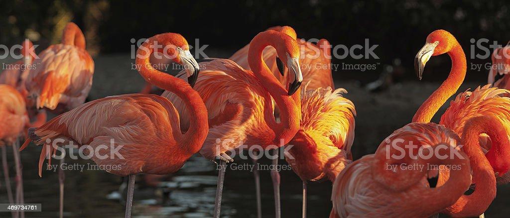 Carribean flamingos over beautiful sunset stock photo