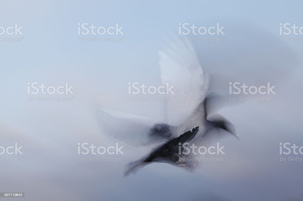 carrier pigeon stock photo
