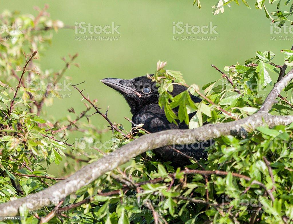 Carrion crow, Corvus corone, fledgling; Scotland stock photo