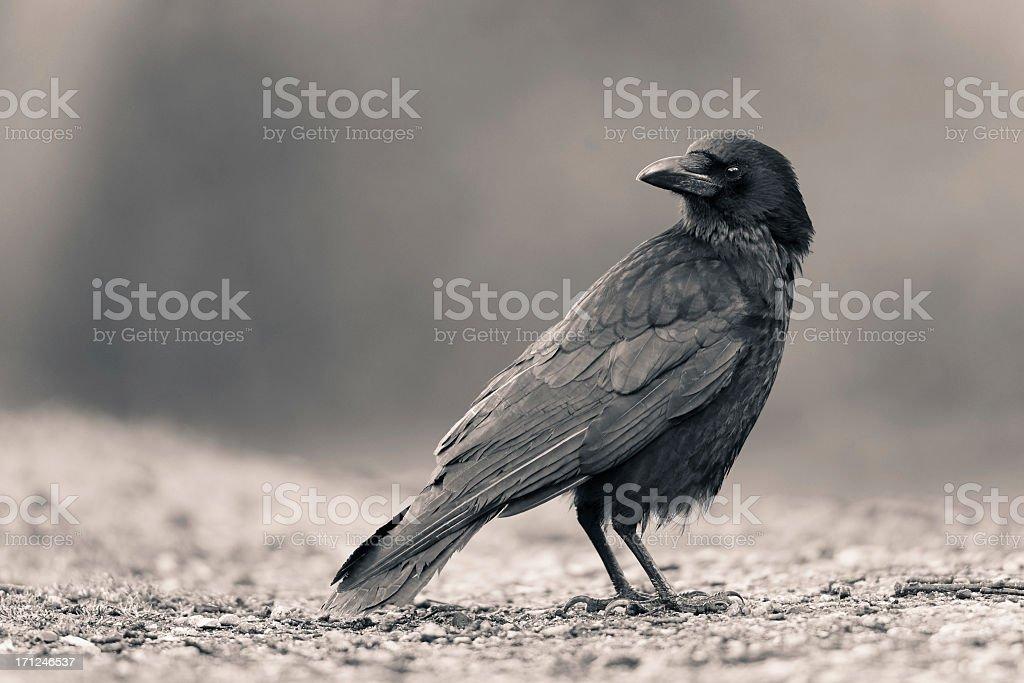 Carrion Crow stock photo