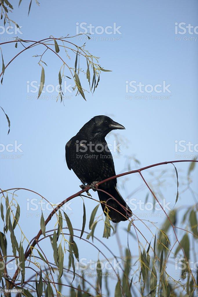 Carrion Crow  (Corvus corone) royalty-free stock photo