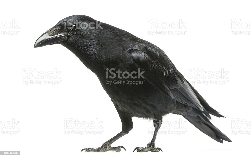 Carrion Crow with inquisitive look, Corvus corone, isolated stock photo