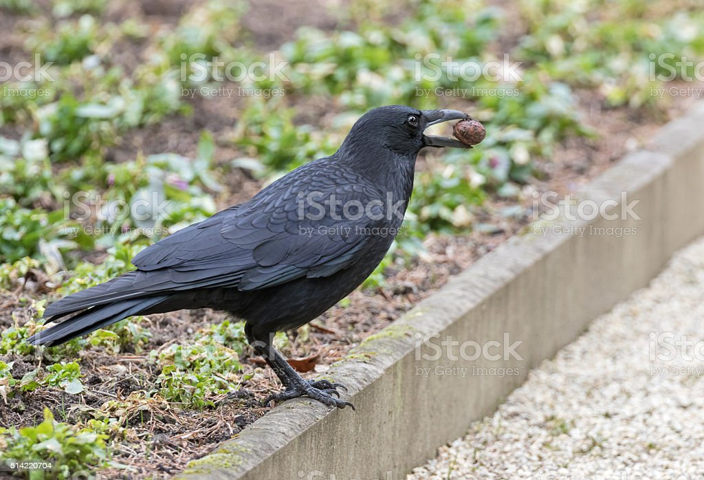 Carrion crow (Corvus corone) with walnut stock photo