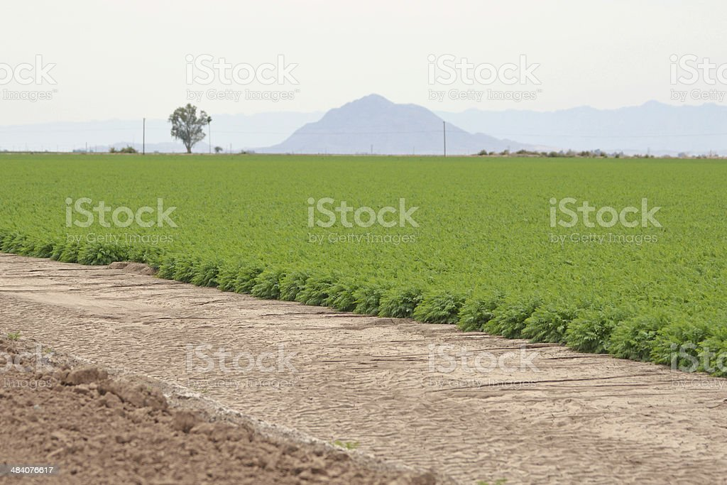 Carrot Field stock photo