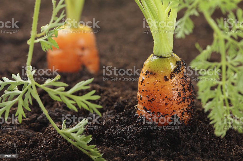 two carrots growing in the soil, very fresh stock photo