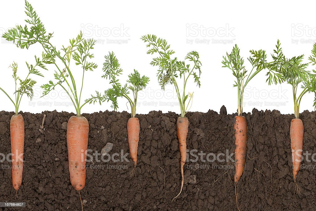 Carrot plant in soil stock photo