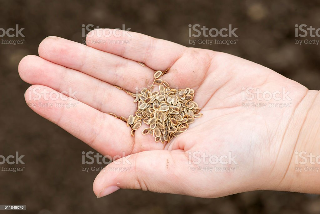 Carrot seeds in human hands against the soil background stock photo