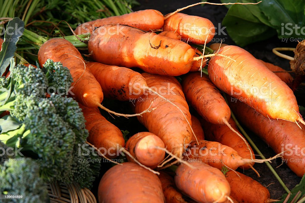 Carrots directly from the Farm royalty-free stock photo
