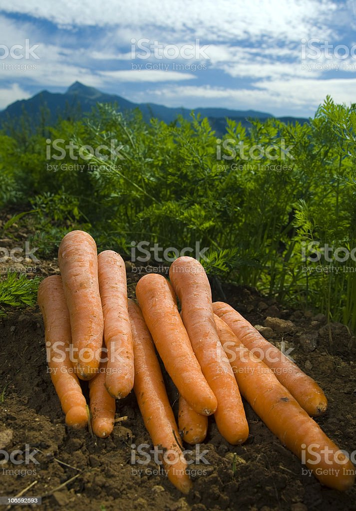 carrots on the field royalty-free stock photo