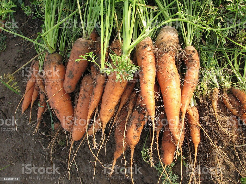 Carrots on the field #3 royalty-free stock photo