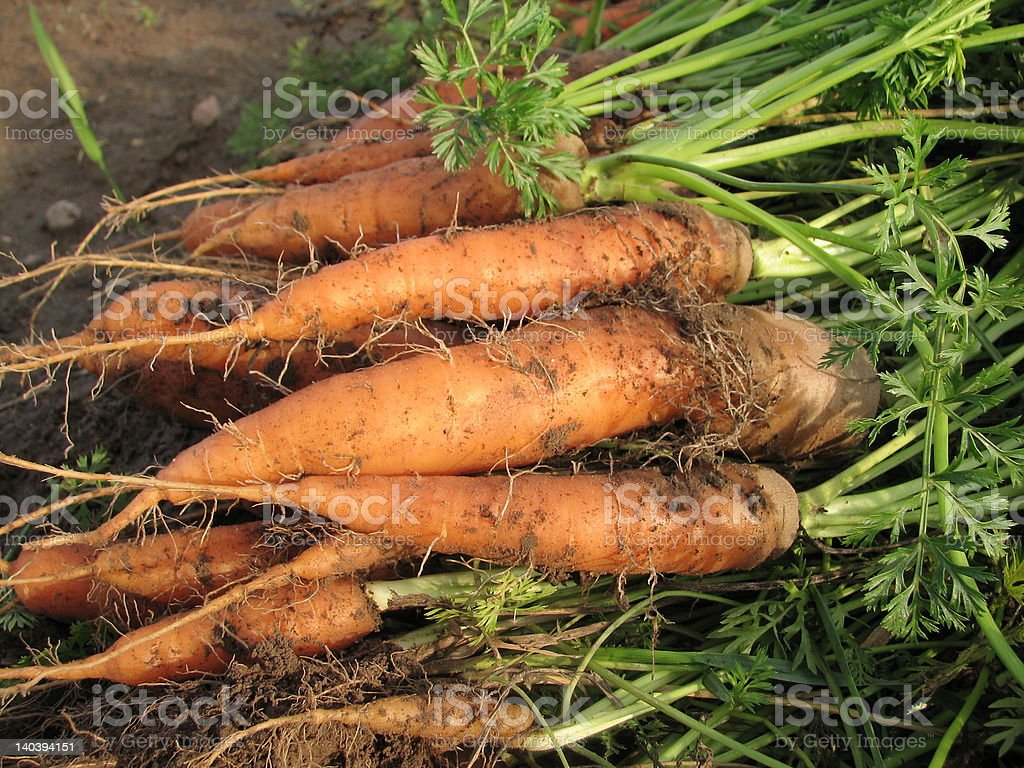 Carrots on the field #2 royalty-free stock photo