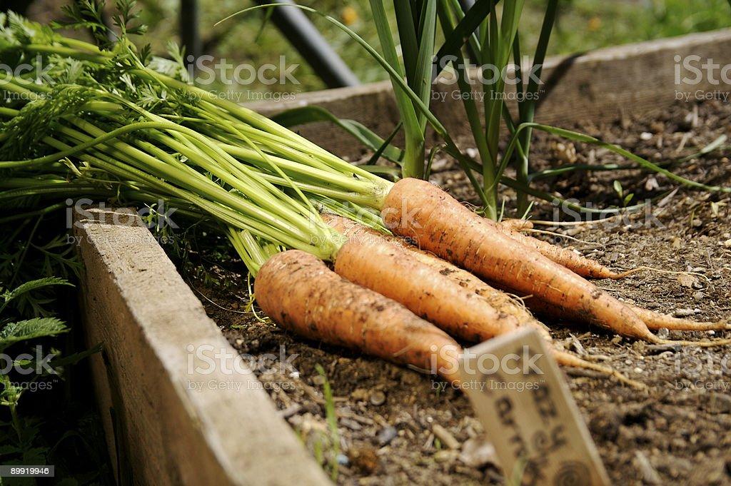 Carrots... stock photo