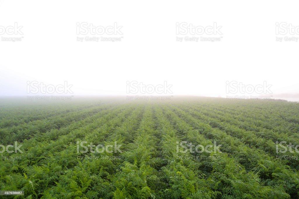 carrots plantation stock photo