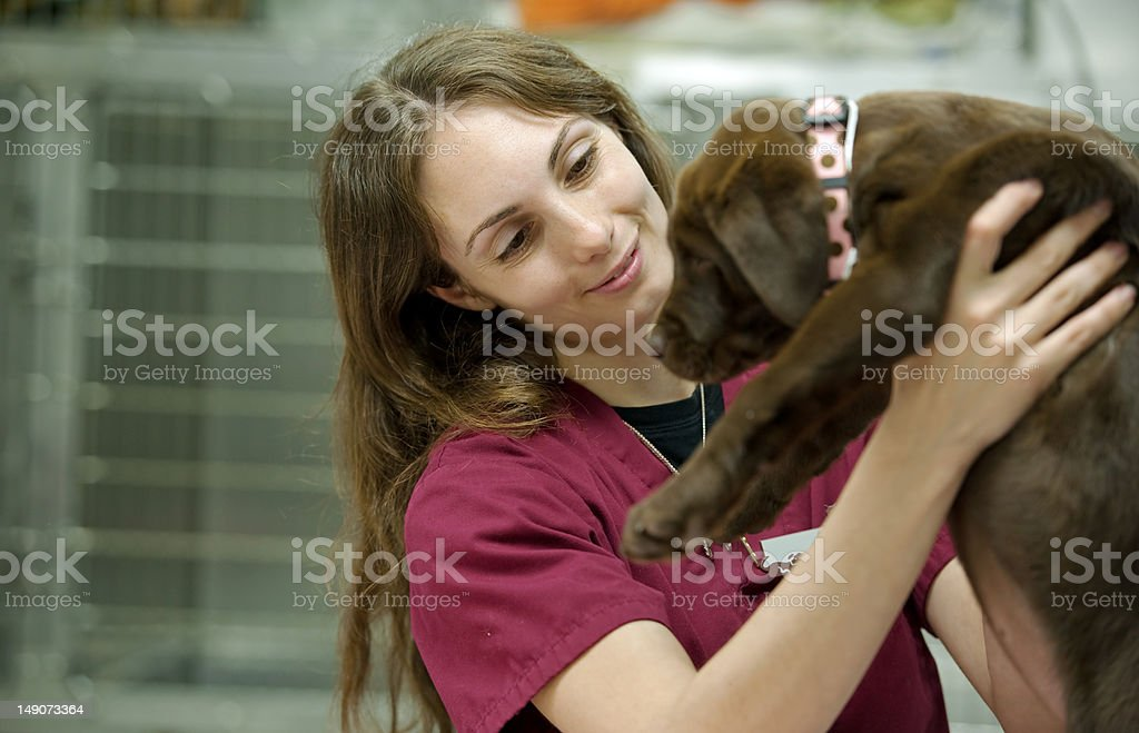carrying a cute brown lab puppy at the vet's royalty-free stock photo