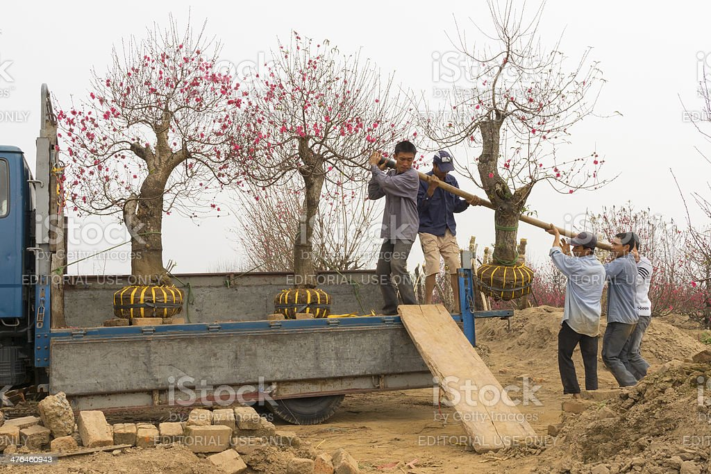 Carrying peach trees for selling in market royalty-free stock photo