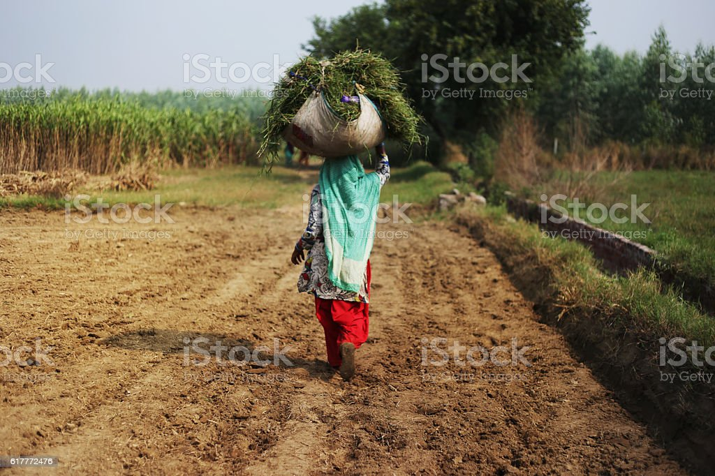 Carrying Silage For Domestic Animal stock photo
