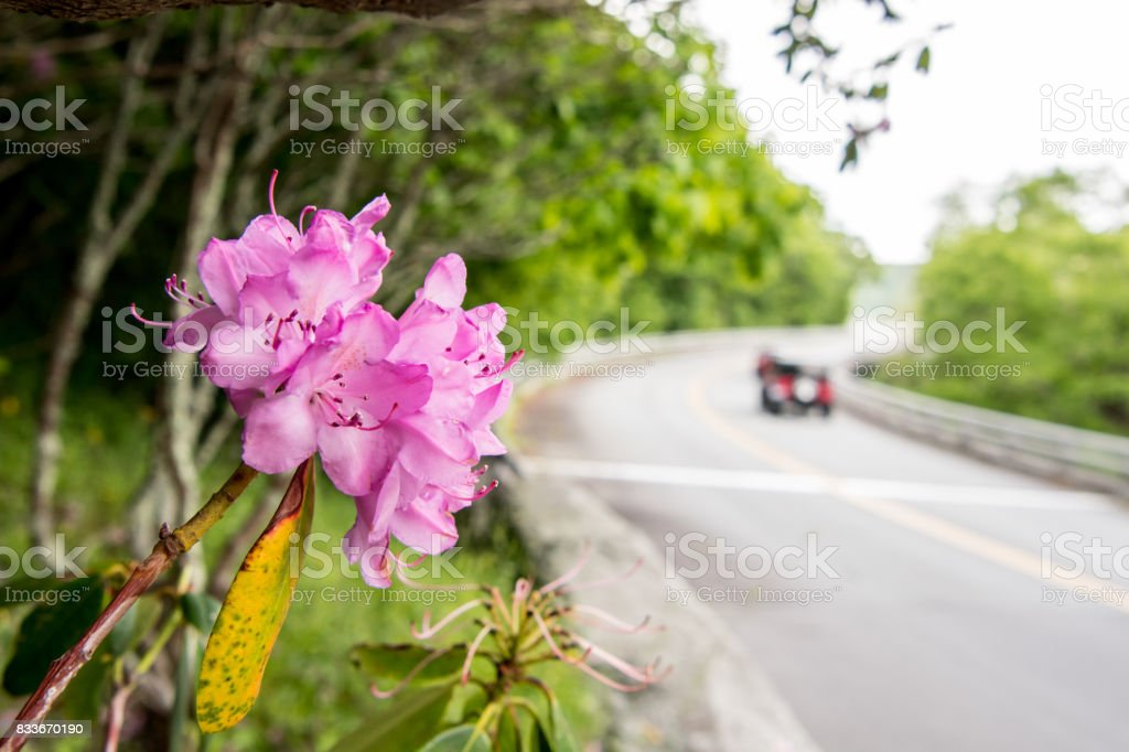 Cars Pass Rhododendron Bloom Along Blue Ridge Parkway stock photo
