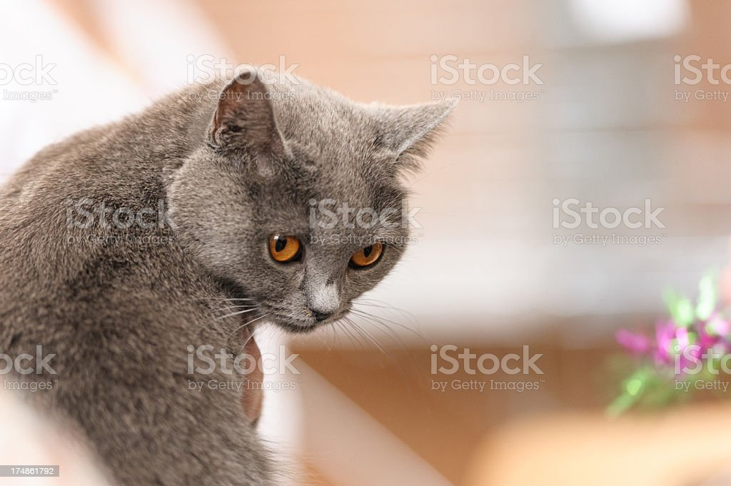 Chartreux cat royalty-free stock photo