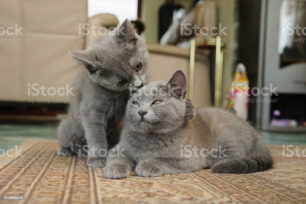 Chartreux love stock photo