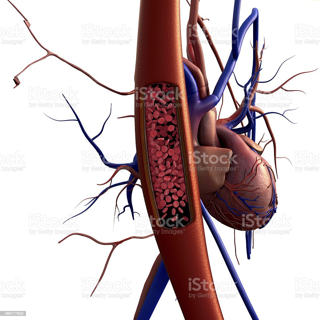 Cartoon depiction of blood vessels and heart stock photo
