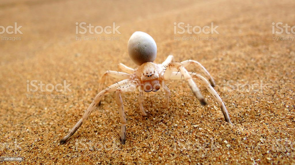 Cartwheel Spider on a Namibian sand dune stock photo