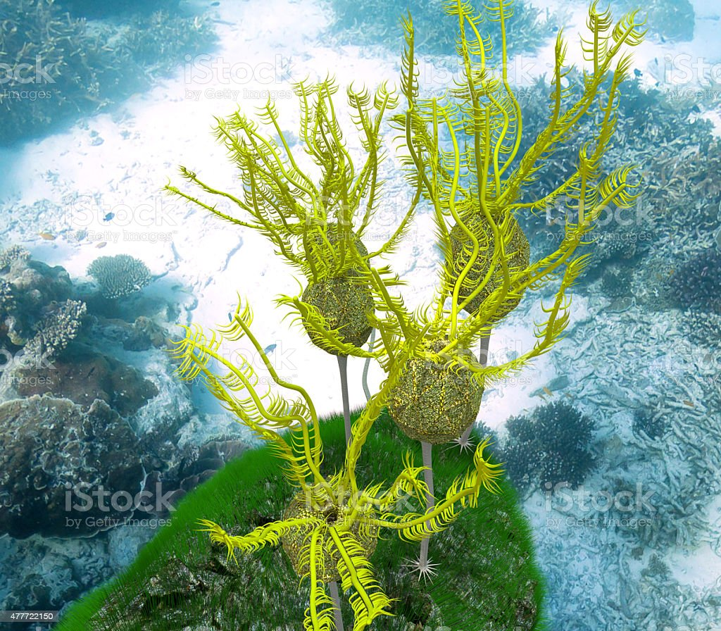 Caryocrinites Ornatus Grouping stock photo