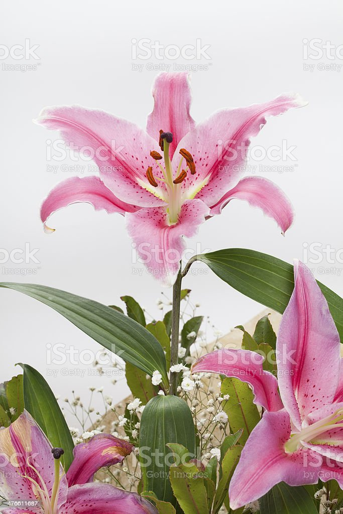 Casablanca Lily royalty-free stock photo