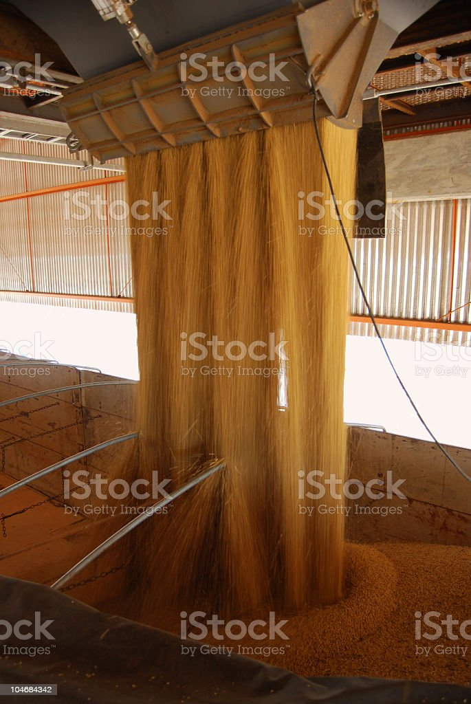 Cascade of soybeans poured into late containers stock photo