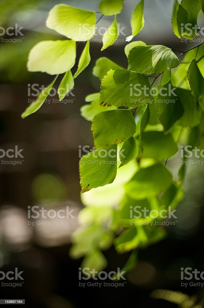 cascading maiden hair fern royalty-free stock photo