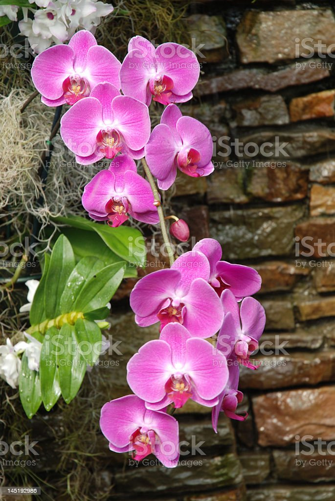 Cascading Purple Orchids royalty-free stock photo