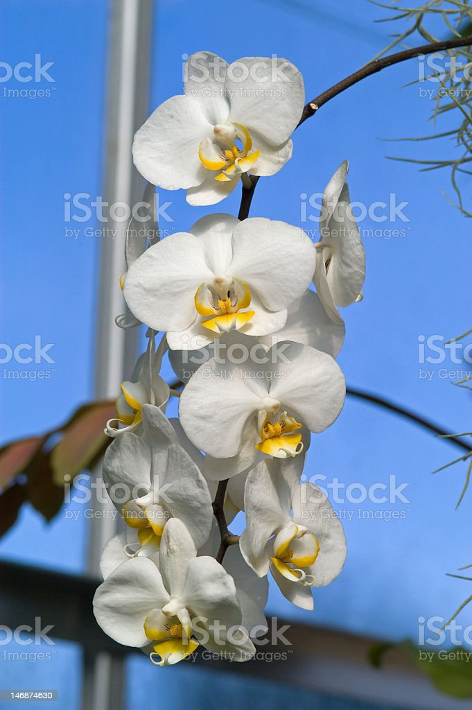 Cascading White Orchids royalty-free stock photo