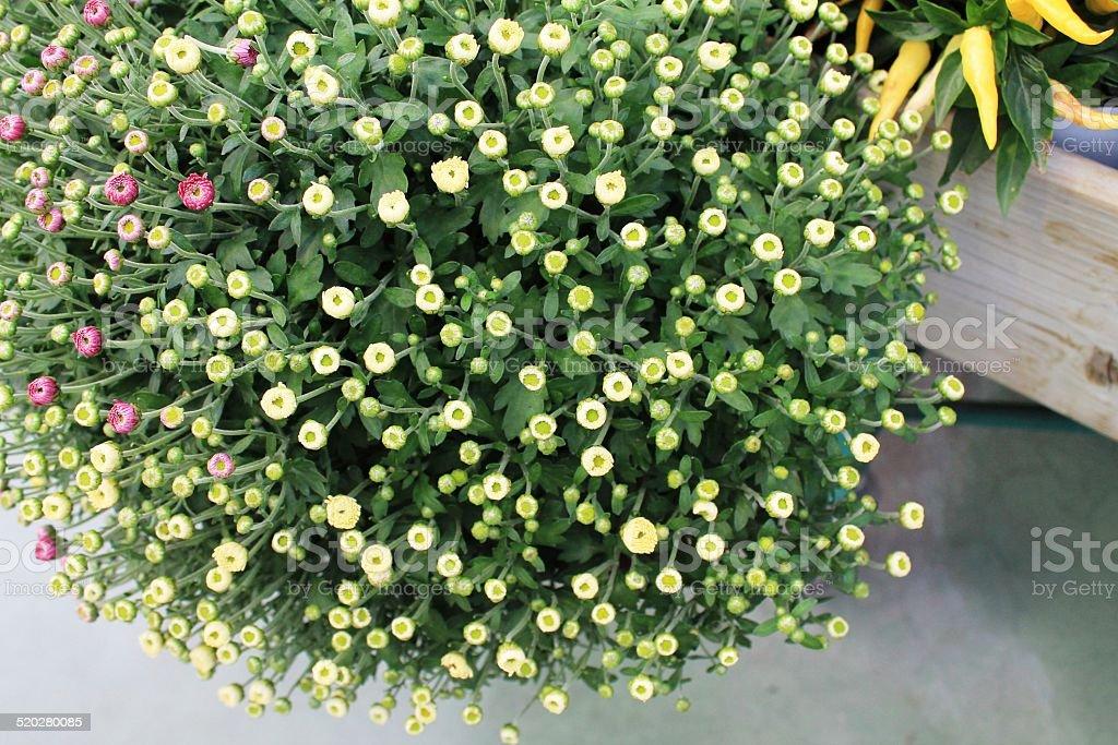 cascata di boccioli gialli stock photo