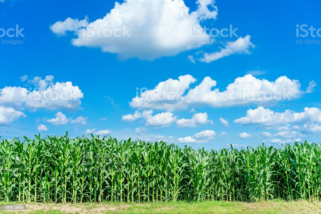 Cash crop in the making stock photo