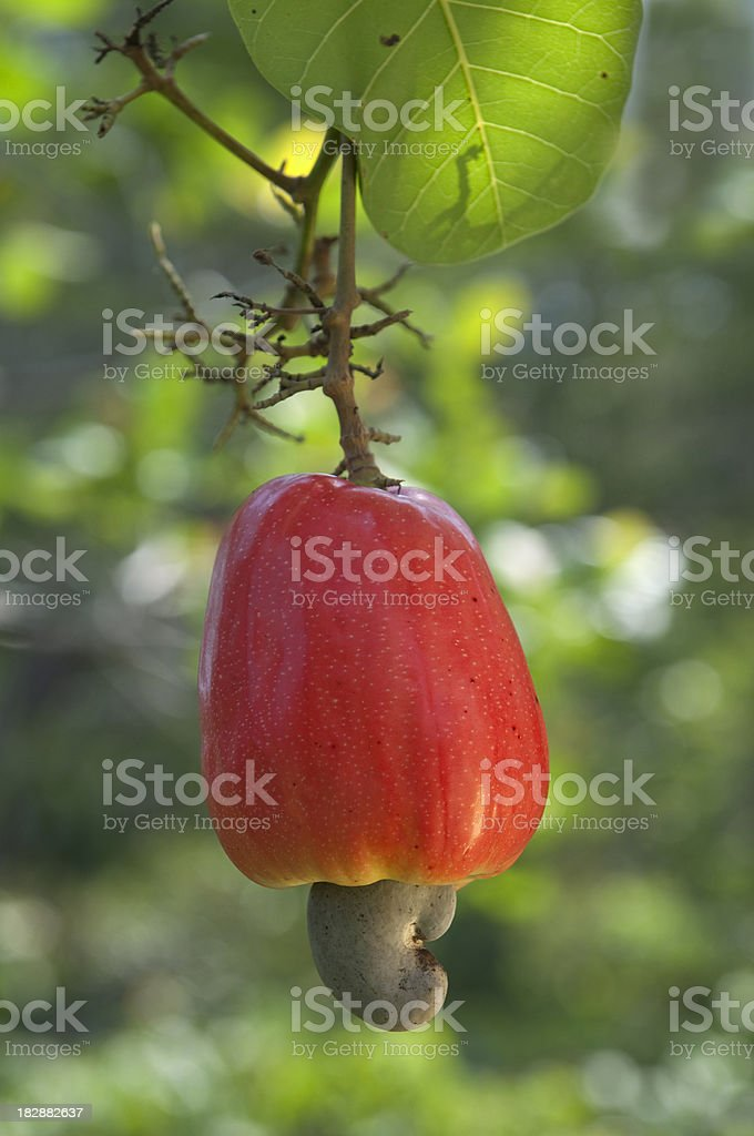 Cashew fruit stock photo