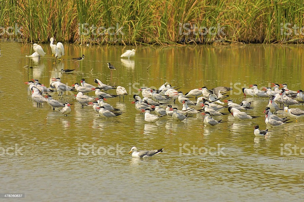 Caspian Tern Feeding Flock stock photo