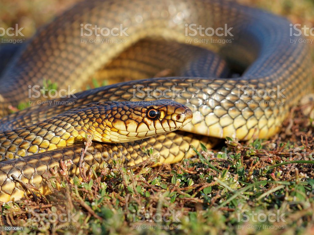 Caspian whipsnake (Dolichophis caspius) - the largest snake from Europe stock photo