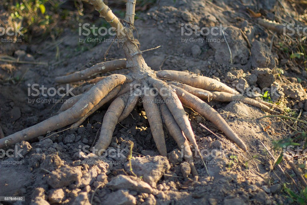 cassava blub on the ground stock photo