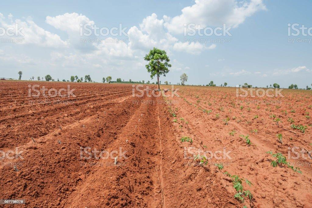 Cassava cultivation in Thailand, Myanmar, Laos, Vietnam, Cambodia stock photo