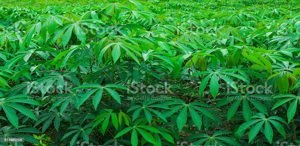 cassava farm stock photo