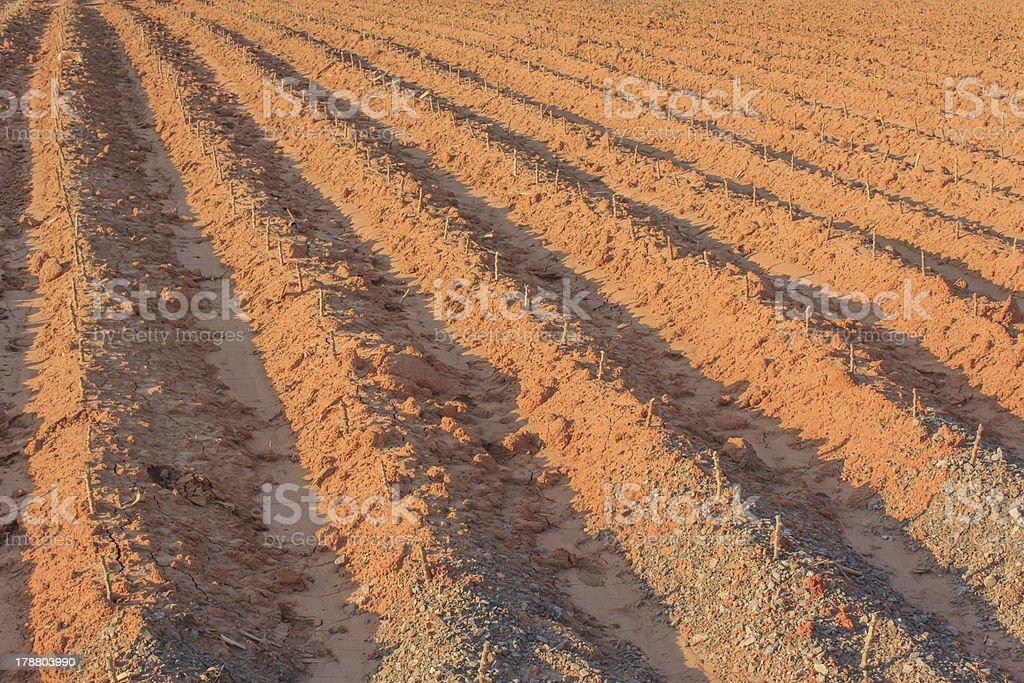 Cassava field in Thailand royalty-free stock photo
