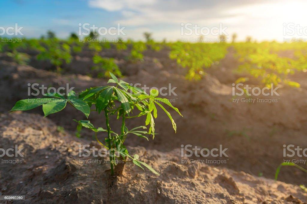 cassava in cassava field with sun set light stock photo