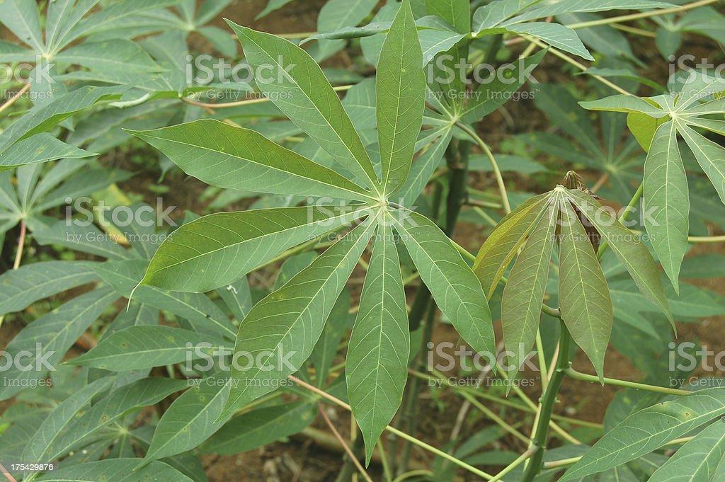 Cassava (Manioc) Plant stock photo