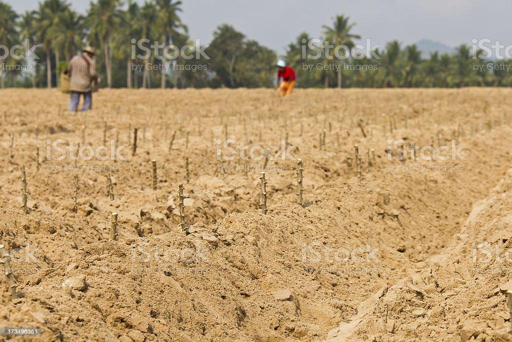 Cassava planting royalty-free stock photo