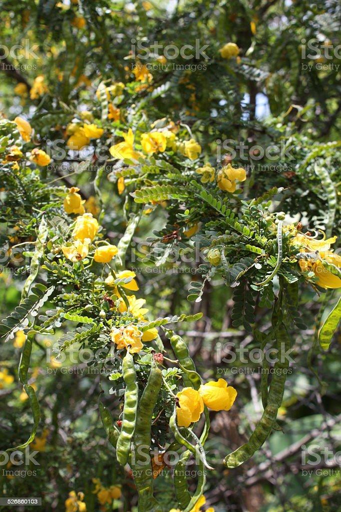 cassia bicapsularis stock photo